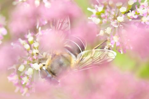 Honeybee wings