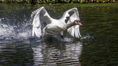 051_Swan_Dennis Robertson_CPC.jpg
