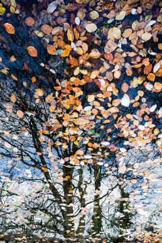 Fallen leaves on reflected trees
