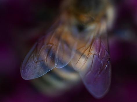 Honeybee on sedums