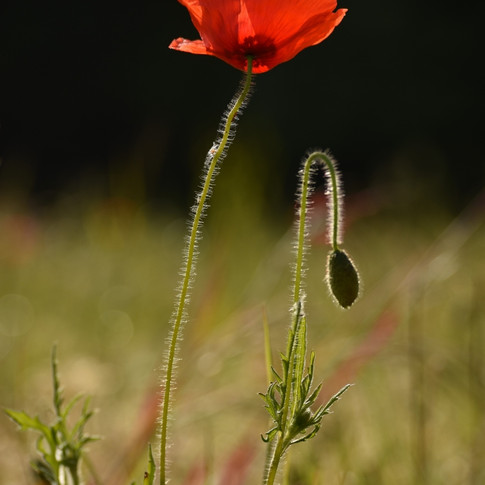 Flanders Poppy (Papaver rhoes)