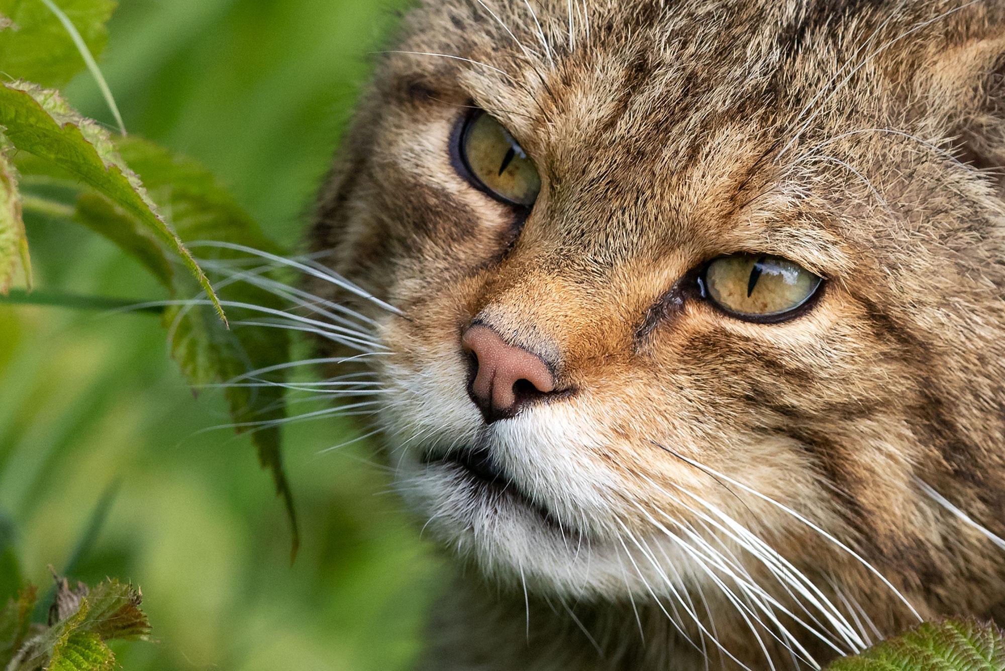 A47I1893_scottish_wildcat_web