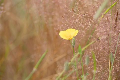 A47I8697_yellow_poppy-web.jpg