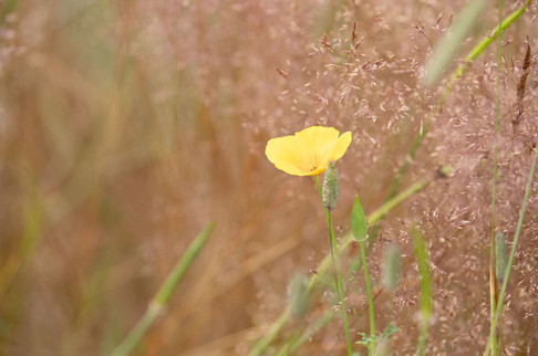 A47I8697_yellow_poppy-web.jpg