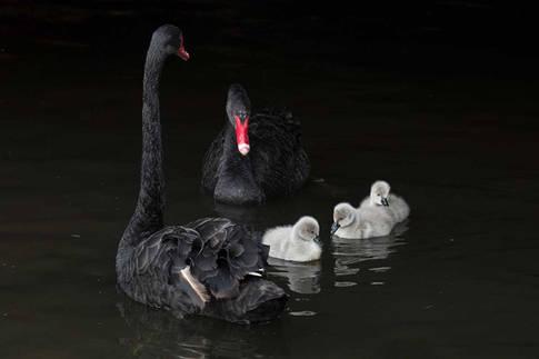 Black swan and cygnets