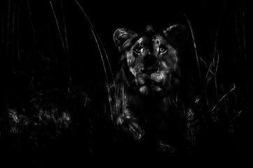 1K4A0883_lion_night_use_NS.jpg