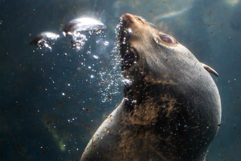 Fur seal blowing bubbles