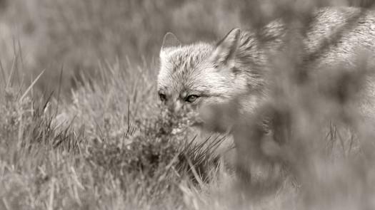 A47I2110_fox.jpg