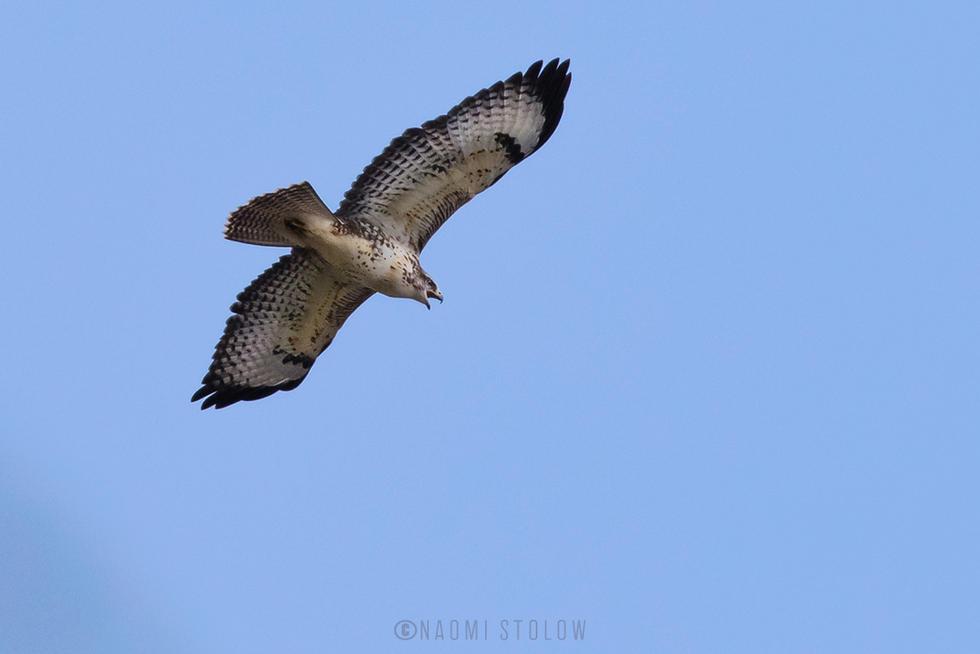 Young buzzard