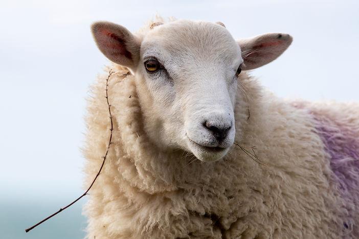 A47I8996_sheep_web.jpg