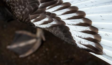 Black swan wing