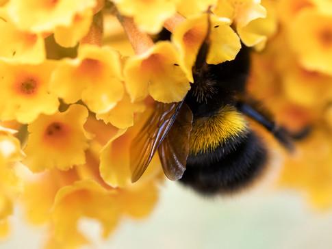 Bee wings