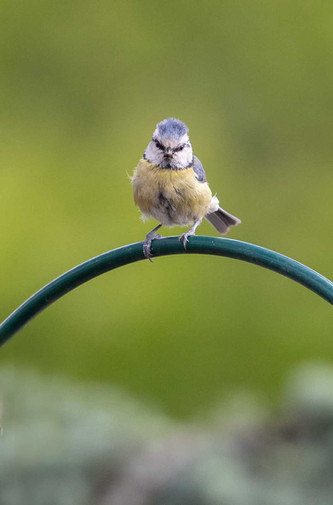Great tit / Blue tit (not sure which)
