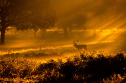 Red stag at sunrise