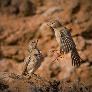 014_Trumpeter Finches_Dave Hutton_DTCC.j