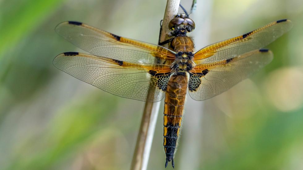 A47I8539_dragonfly.jpg