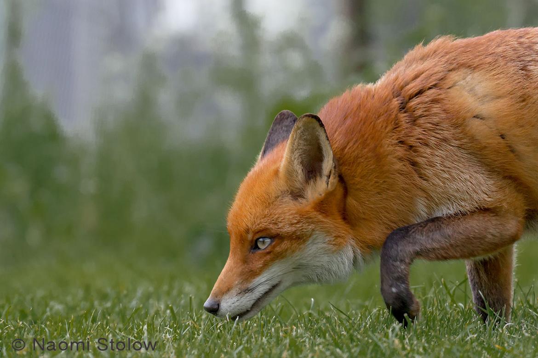 British Red fox