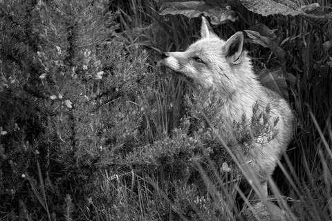 A47I2464_fox.jpg
