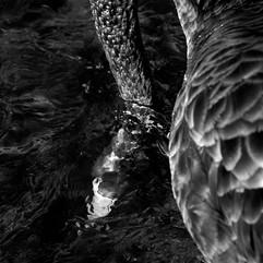 IMGL2592_blackswan_head_underwater_final