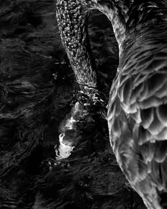 IMGL2592_blackswan_head_underwater_final.jpg