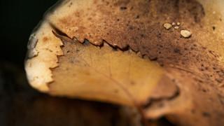 Leaf on a mushroom