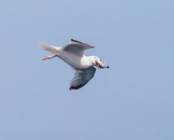 046_Predating Herring Gull_Dave Hutton_D