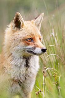 A47I2216_fox2.jpg