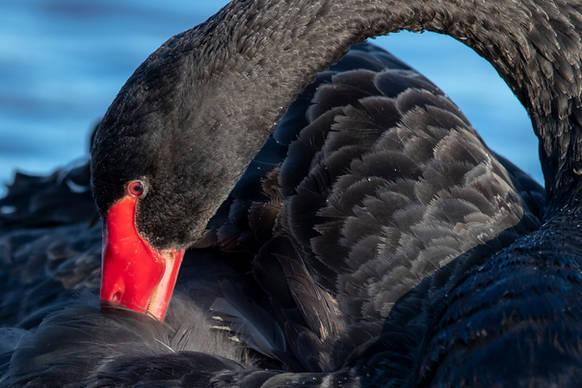 Black swan preening