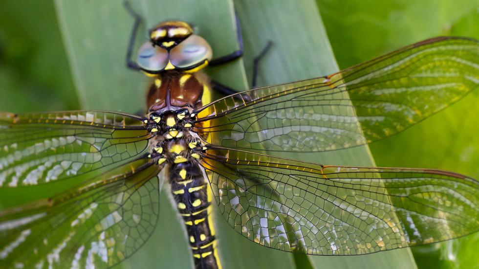 A47I8599_dragonfly.jpg
