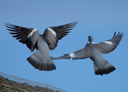Lusty pigeons on the roof