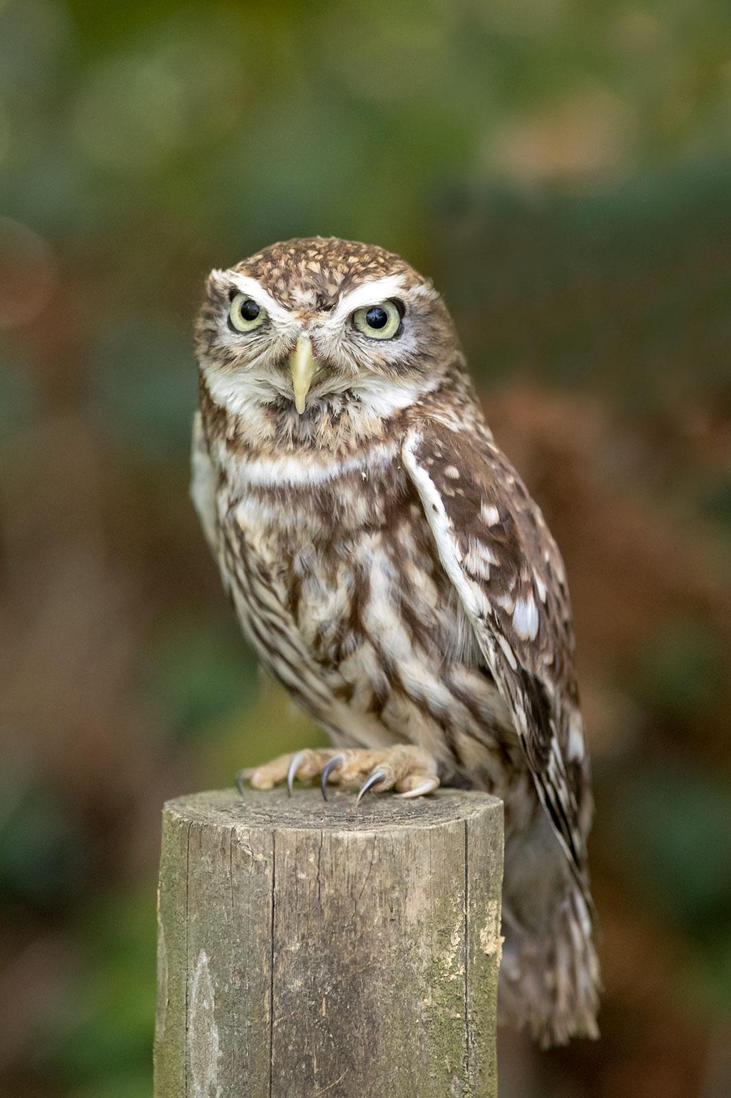 A47I1920_little_owl