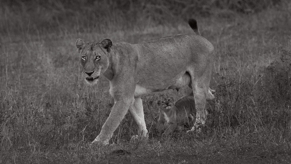 Lioness with hungry cub