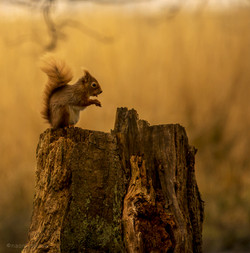 Red squirrel eating a peanut