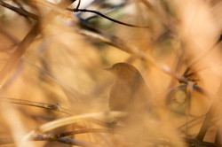 1K4A1750_bird_bushes