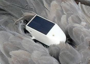Solar powered GPS GSM transmitter OrniTrack-50 on Common Crane