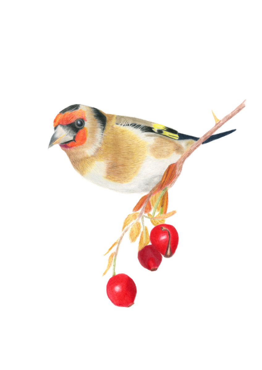 Goldfinch-giclee