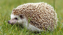 hedgehog-pet.jpg