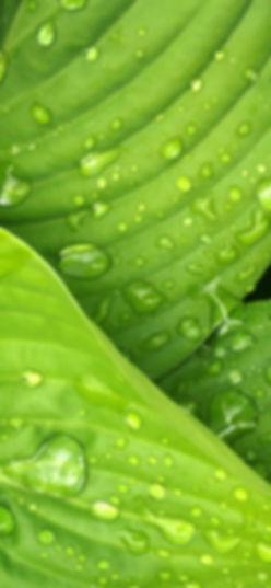 leaves-rain-green-hosta-38012_edited_edi
