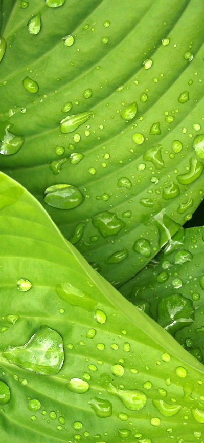 leaves-rain-green-hosta-38012_edited_edi