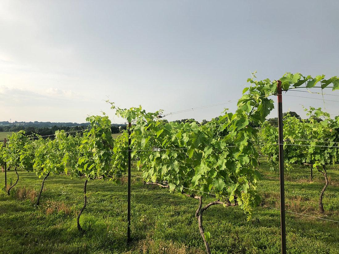 ASV vines.jpg