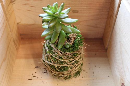 Succulent Moss Ball #2