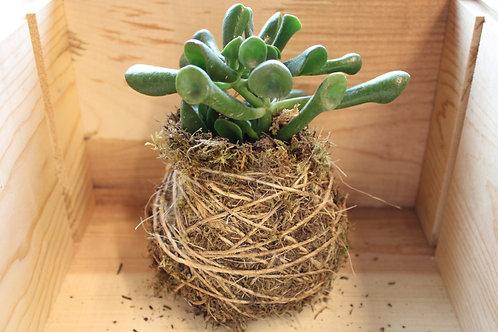 Succulent Moss Ball #10