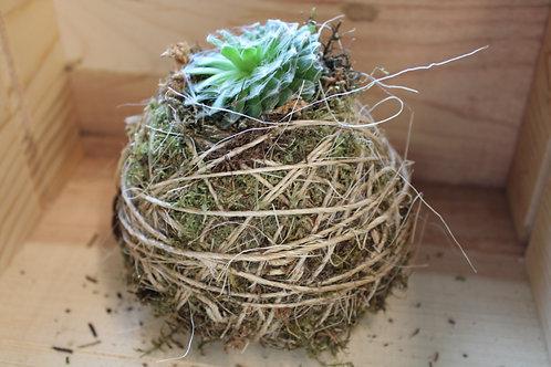 Succulent Moss Ball #7
