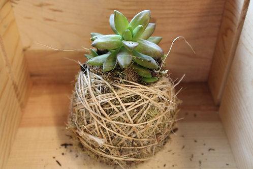 Succulent Moss Ball #5