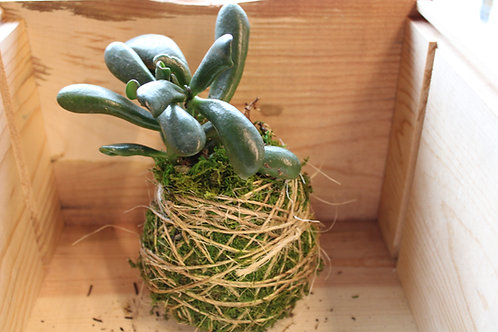 Succulent Moss Ball #9