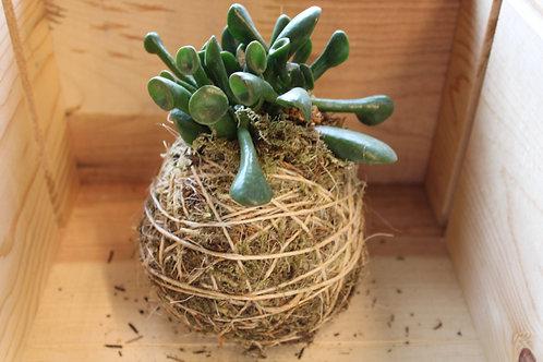 Succulent Moss Ball #8
