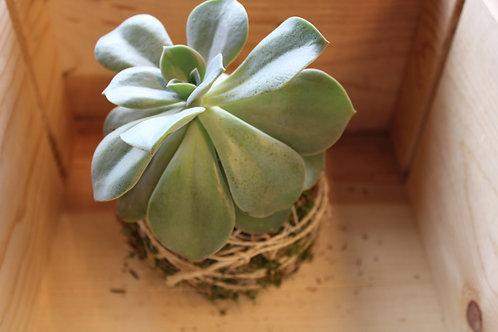 Succulent Moss Ball #3
