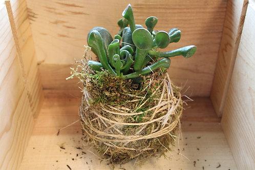 Succulent Moss Ball #11
