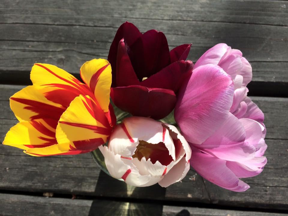 Tulipány hýří barvami