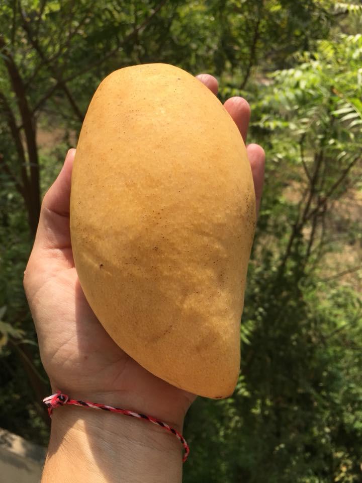 První mango sezóny sladké jako med